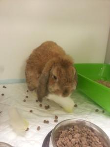 eten na behandeling abces konijn